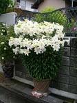 テッポウユリ(鉄砲百合)の育て方|初心者に栽培しやすく毎年豪華な花を