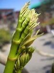 タラの芽の栽培方法と料理