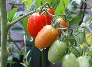 夏まき野菜