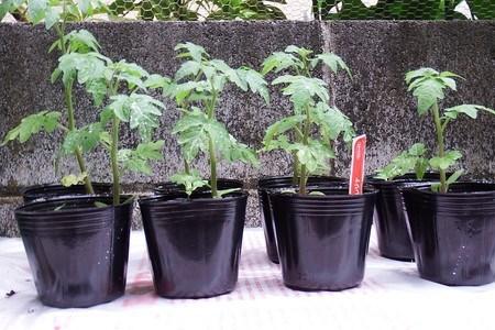 tomato-pot.jpg