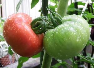 tomato-reika.jpg