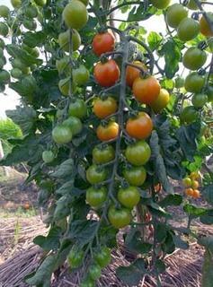 トマト苗の植え付け方と植え付け後の育て方