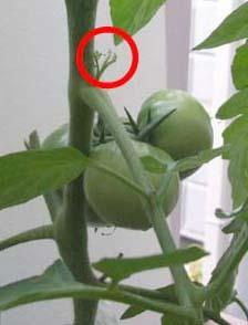 tomato-wakime.jpg