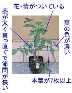 tomato-yoinae.jpg
