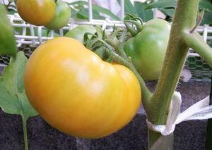 トマト 栽培記録 2016