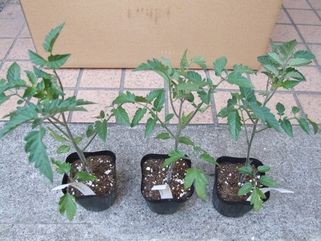 tomato035.jpg
