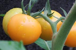 tomato078.JPG