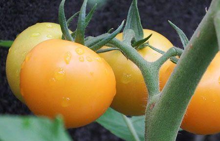 tomato083.JPG