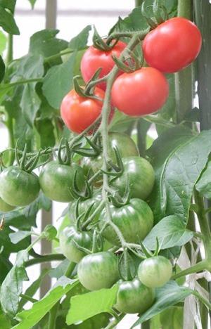 tomato (17).JPG