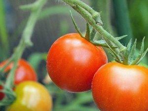 トマト わき芽かきと摘芯
