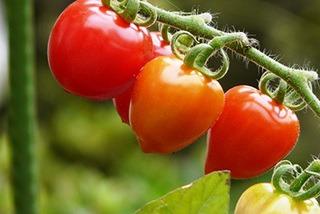 ミニトマトの育て方 簡単で大収穫&美味♪