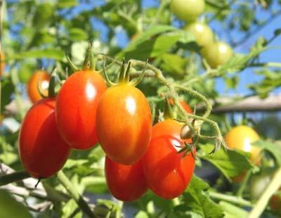 tomato20syukaku300.jpg