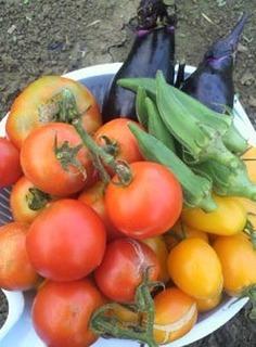 トマトの実が割れる理由と対策は?