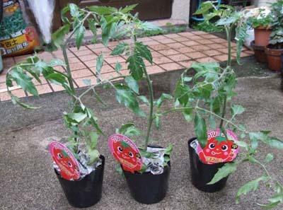 tomatonae300.jpg