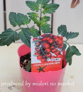 野菜苗の選び方|おいしい野菜を育てるコツ