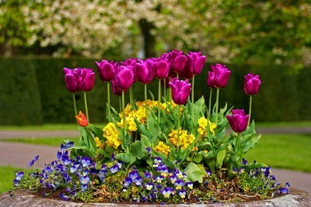 tulip001.jpg