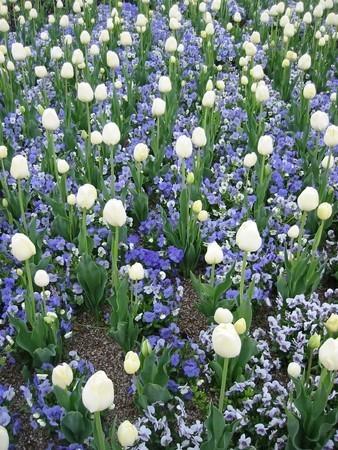 tulip005.jpg