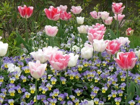 tulip007.jpg