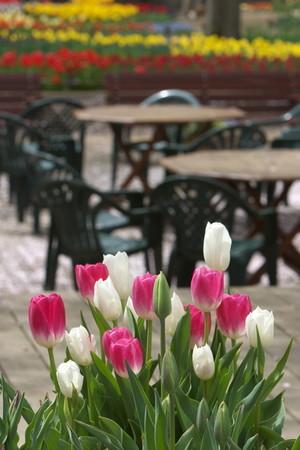 tulip (3).jpg