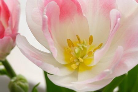 tulip (4).jpg