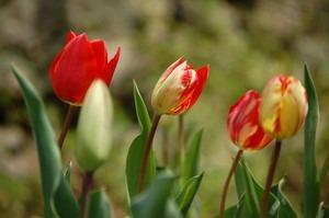 チューリップ 花が咲かない