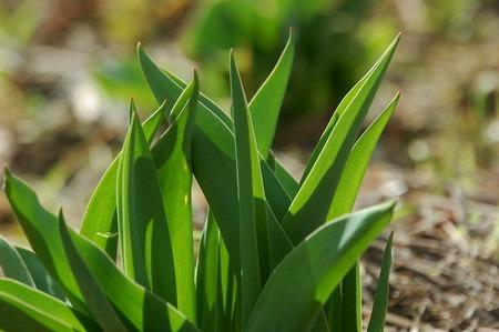 tulip (8).jpg