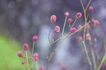 ワレモコウの花の育て方
