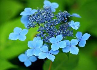 アジサイの育て方 5月−開花を見守り水やりに気をつけて