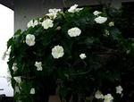 夜顔(白花夜顔)が、いっせいに開花