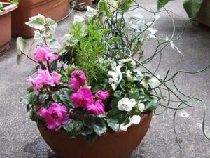 冬の寄せ植え|ガーデンシクラメン&ビオラ