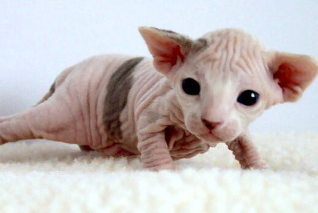 2_week-old_Female_Sphynx_(Suki).jpg